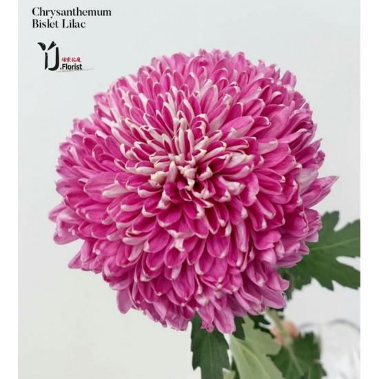 Chrysanthemum Bislet Lilac