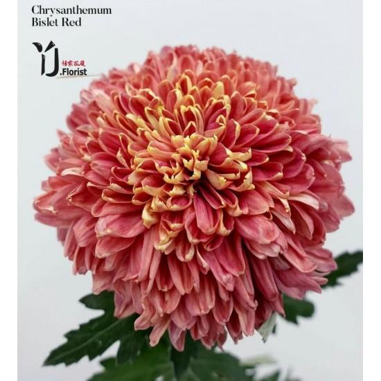 Chrysanthemum Bislet Red