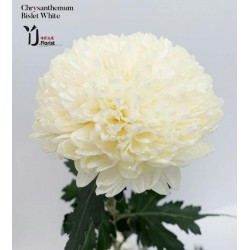 Chrysanthemum Bislet White