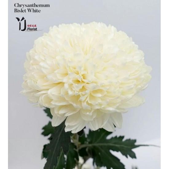 Chrysanthemum Bislet White