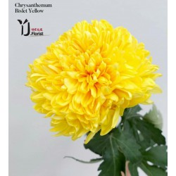 Chrysanthemum Bislet Yellow