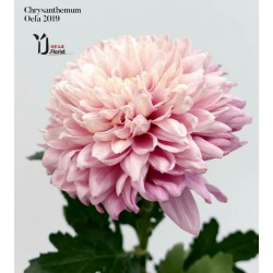 Chrysanthemum Oefa 2019
