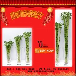 富贵转运竹 Lucky Bamboo